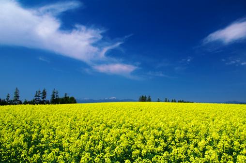 アブラナ「Oilseed rape field, Hokkaido Prefecture, Japan」:スマホ壁紙(2)