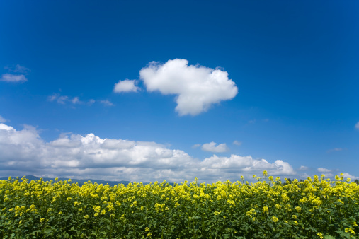 アブラナ「Oilseed Rape field, Hokkaido Prefecture, Japan」:スマホ壁紙(17)