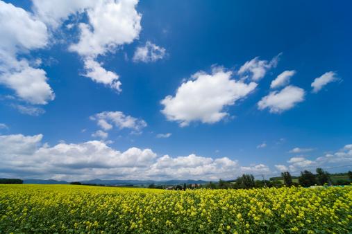 アブラナ「Oilseed Rape field, Hokkaido Prefecture, Japan」:スマホ壁紙(16)