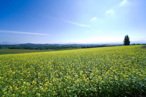 アブラナ「Oilseed Rape field, Hokkaido Prefecture, Japan」:スマホ壁紙(18)