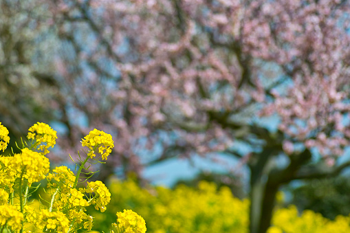 梅の花「Oilseed rape blossoms and cherry trees, Mitsu-machi, Hyogo Prefecture, Japan」:スマホ壁紙(12)
