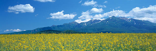 Oilseed Rape field. Mt. Taisetsu, Hokkaido Prefecture, Japan:スマホ壁紙(壁紙.com)