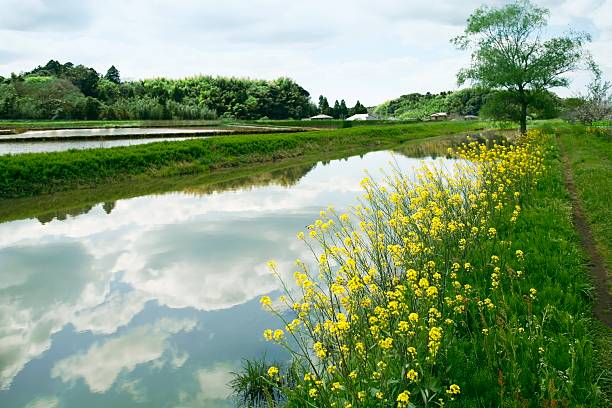 Oilseed rape blossoms growing beside a tranquil stream. Chiba Prefecture, Japan:スマホ壁紙(壁紙.com)