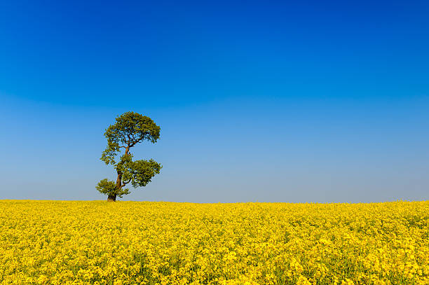 Oilseed Rape Field and Tree:スマホ壁紙(壁紙.com)