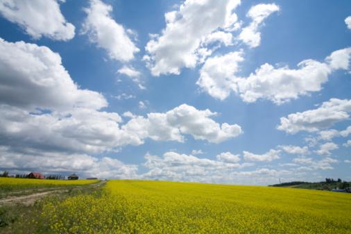 アブラナ「Oilseed Rape field. Biei, Hokkaido Prefecture, Japan」:スマホ壁紙(6)