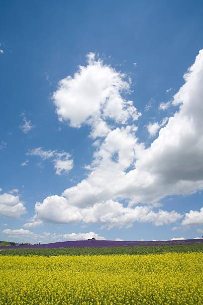 Oilseed Rape field. Biei, Hokkaido Prefecture, Japan:スマホ壁紙(壁紙.com)