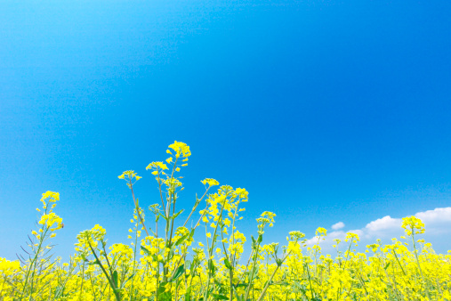アブラナ「Oilseed rape field, Kanagawa Prefecture, Honshu, Japan」:スマホ壁紙(10)