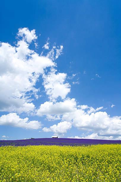 Oilseed rape and lavender field:スマホ壁紙(壁紙.com)