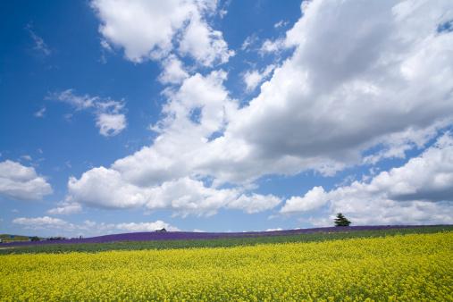 アブラナ「Oilseed Rape and lavender field, Hokkaido Prefecture, Japan」:スマホ壁紙(19)