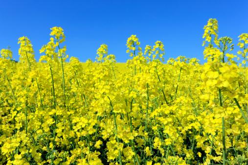 flower「Oilseed rape field, close-up」:スマホ壁紙(11)