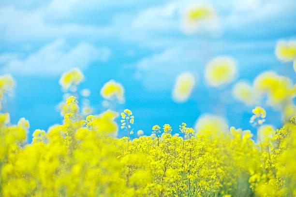 Oilseed Rape Field:スマホ壁紙(壁紙.com)