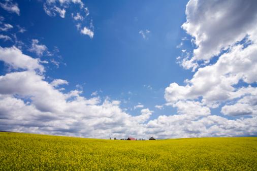 アブラナ「Oilseed rape field」:スマホ壁紙(1)