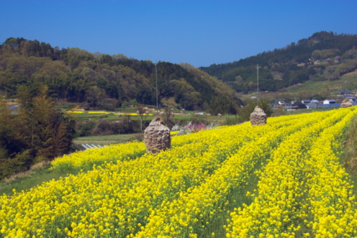アブラナ「Oilseed rape crop field, Nara Prefecture, Honshu, Japan」:スマホ壁紙(10)