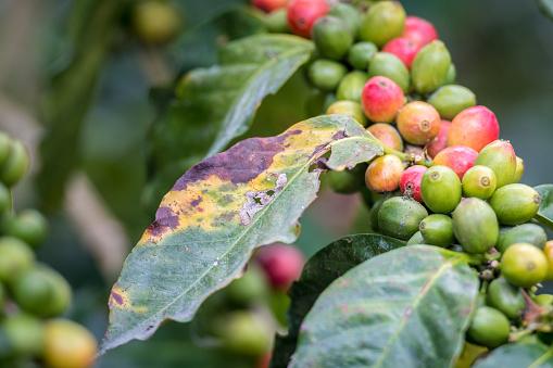 Central America「Ripe beans and rust」:スマホ壁紙(6)