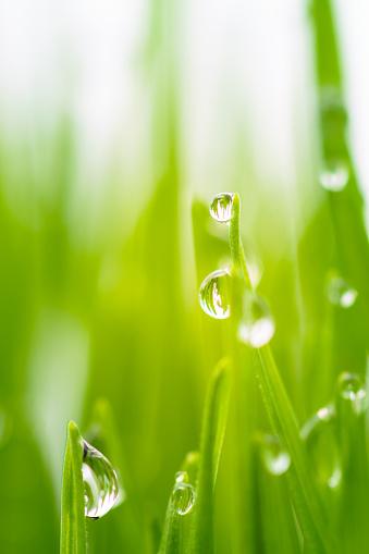 Wheatgrass Juice「Drops of rainwater on blades of wheatgrass.」:スマホ壁紙(16)