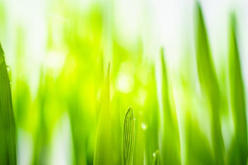 Wheatgrass Juice「Drops of rainwater on blades of wheatgrass.」:スマホ壁紙(18)