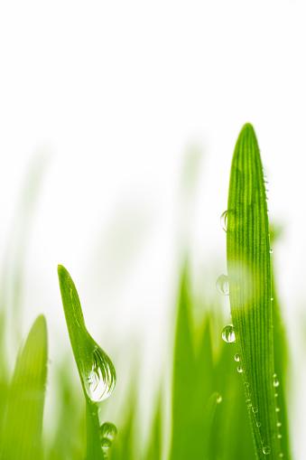 Wheatgrass Juice「Drops of rainwater on blades of wheatgrass.」:スマホ壁紙(19)