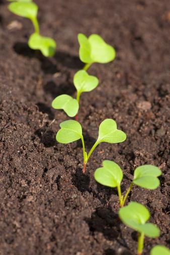 Radish「Row of radish seedlings PR」:スマホ壁紙(19)