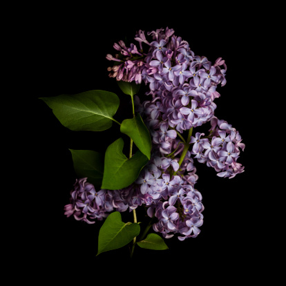 Lavender - Plant「Lilac isolated on black background」:スマホ壁紙(8)
