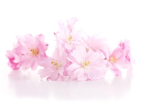 桜「薄い」:スマホ壁紙(11)