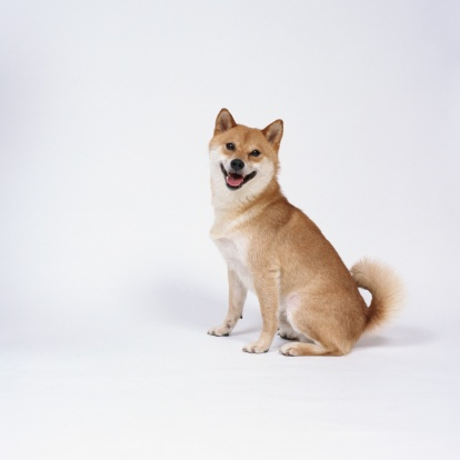 座る「Shiba inu sitting」:スマホ壁紙(9)