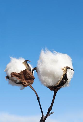 Homegrown Produce「Cotton Crop Detail」:スマホ壁紙(9)