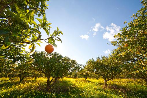 Orange - Fruit「Citrus grove」:スマホ壁紙(4)