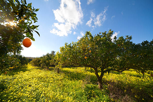 Citrus grove:スマホ壁紙(壁紙.com)