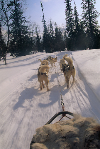 Dogsledding「Dog Sled Running on Trail in Lapland」:スマホ壁紙(19)