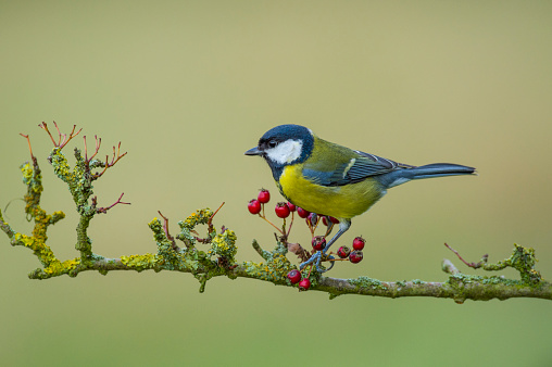 Hawthorn「Adult Great Tit perched on hawthorn branch」:スマホ壁紙(19)