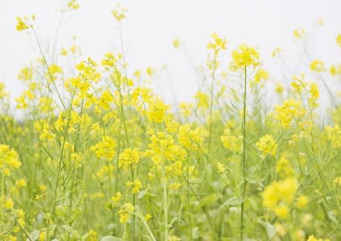 アブラナ「Mustard Field 」:スマホ壁紙(14)