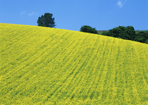 Farm「Mustard Field」:スマホ壁紙(0)
