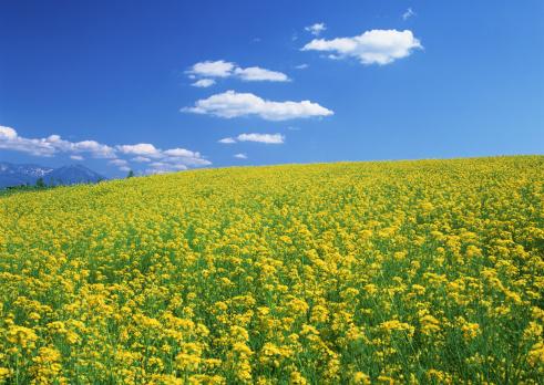 春「Mustard Field」:スマホ壁紙(0)