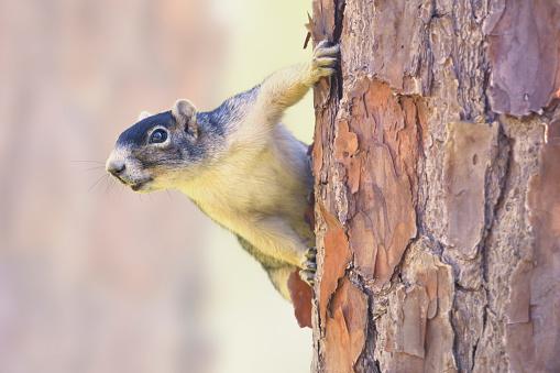 リス「Shermans Fox Squirrel (Sciurus niger shermani) on pine tree trunk, Florida, America, USA」:スマホ壁紙(9)