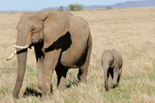 Eco Tourism「Mother African Elephant and New Baby」:スマホ壁紙(18)