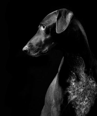 Animals Hunting「German Pointer Dog, Black and White」:スマホ壁紙(12)