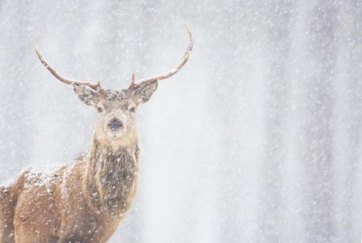 Stag「Red deer Cervus elaphus, stag in winter, Scotland」:スマホ壁紙(14)