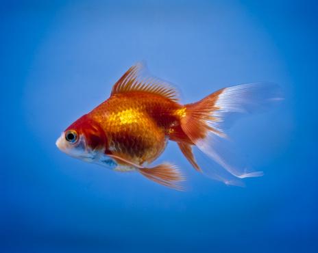 1990-1999「Goldfish, carassius auratus」:スマホ壁紙(18)