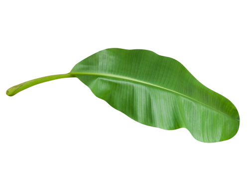 Tropical Tree「Green banana leaf isolated on white with clipping path」:スマホ壁紙(11)