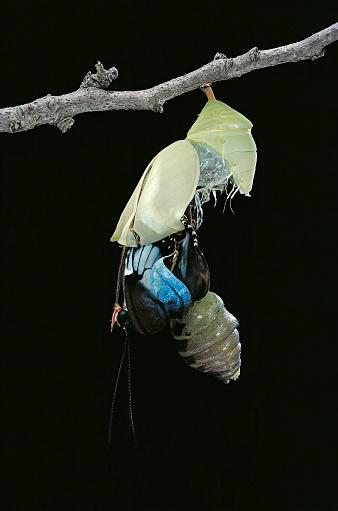 Morpho Butterfly「Morpho peleides (blue morpho) - emerging from pupa」:スマホ壁紙(13)