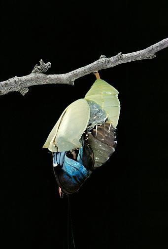 Morpho Butterfly「Morpho peleides (blue morpho) - emerging from pupa」:スマホ壁紙(10)