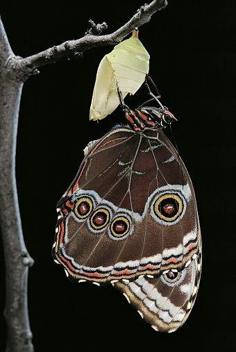 Morpho Butterfly「Morpho peleides (blue morpho) - emerging from pupa」:スマホ壁紙(15)