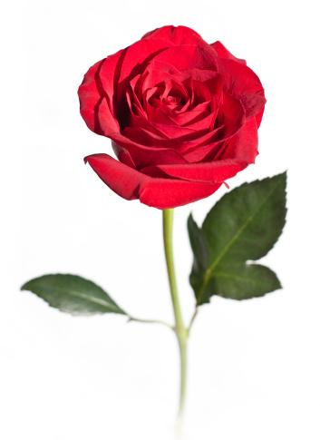 薔薇「赤いバラの花の白で分離」:スマホ壁紙(14)