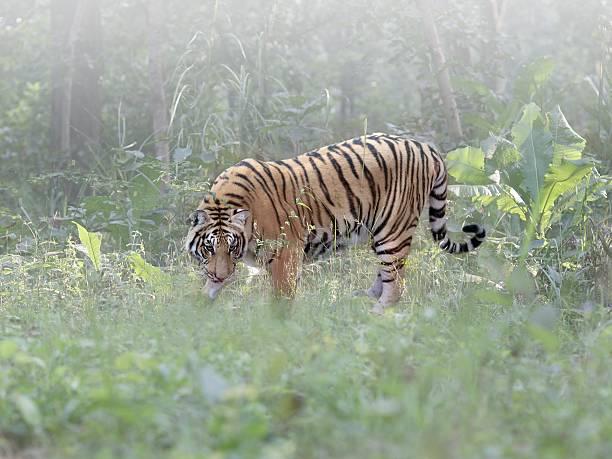 A wild Bengal tiger:スマホ壁紙(壁紙.com)