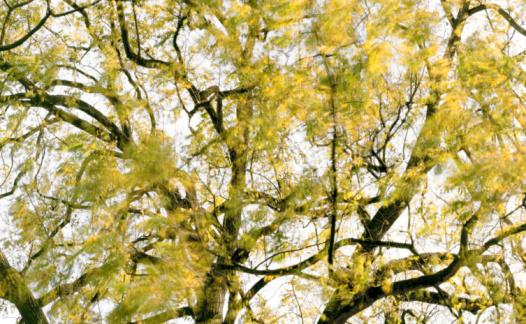 セイヨウカジカエデ「Sycamore  (Acer pseudoplatanus), (blurred motion)」:スマホ壁紙(8)