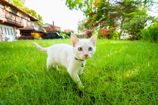 Kitten「Kitten Cautiously Exploring on Lawn」:スマホ壁紙(15)