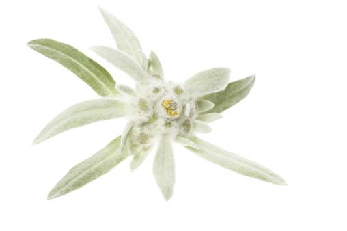 Edelweiss - Flower「edelweiss」:スマホ壁紙(7)