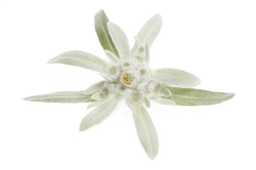 Edelweiss - Flower「edelweiss」:スマホ壁紙(11)