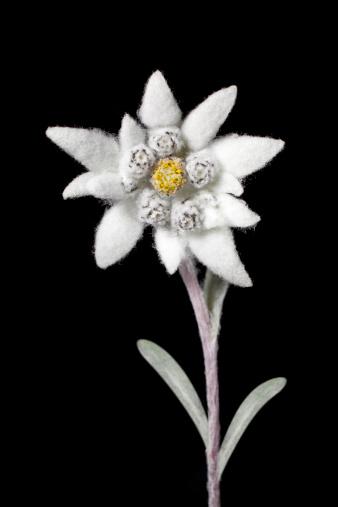 Edelweiss - Flower「Edelweiss」:スマホ壁紙(10)