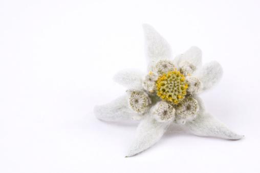 Edelweiss - Flower「edelweiss」:スマホ壁紙(6)
